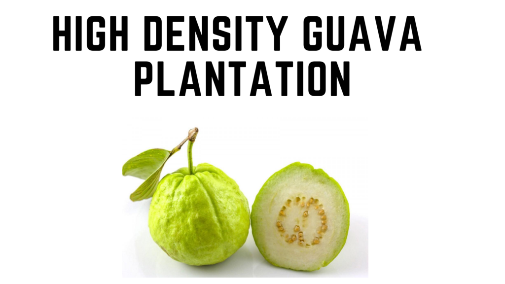 Guava, guava plantation, high density guava plantation