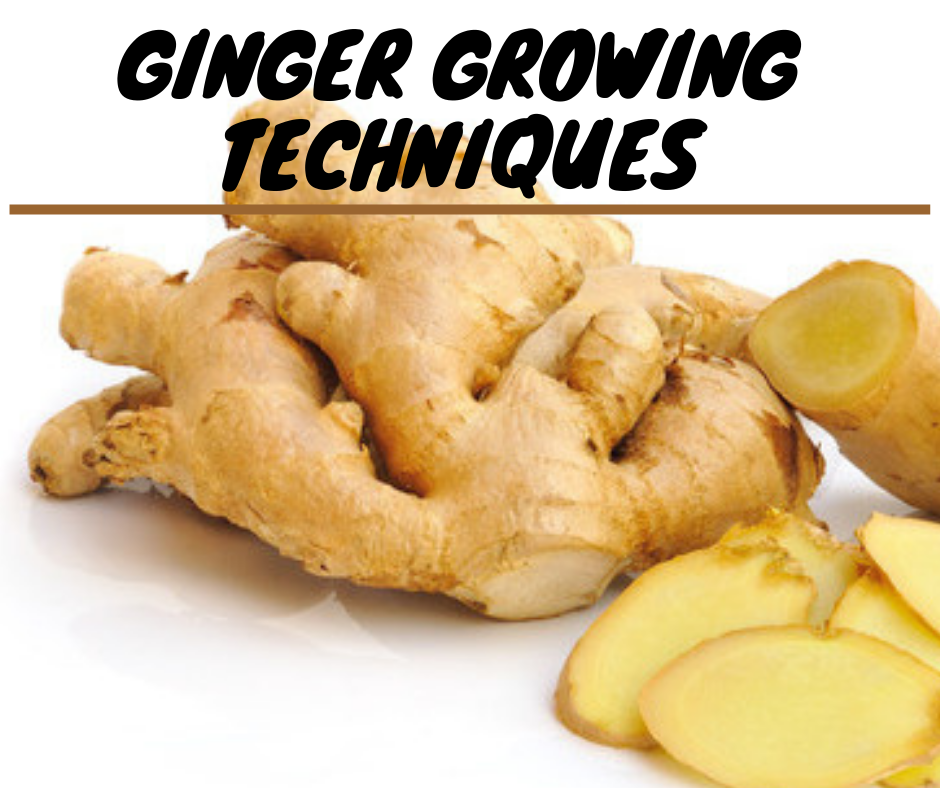 ginger growing, ginger growing season in pakistan