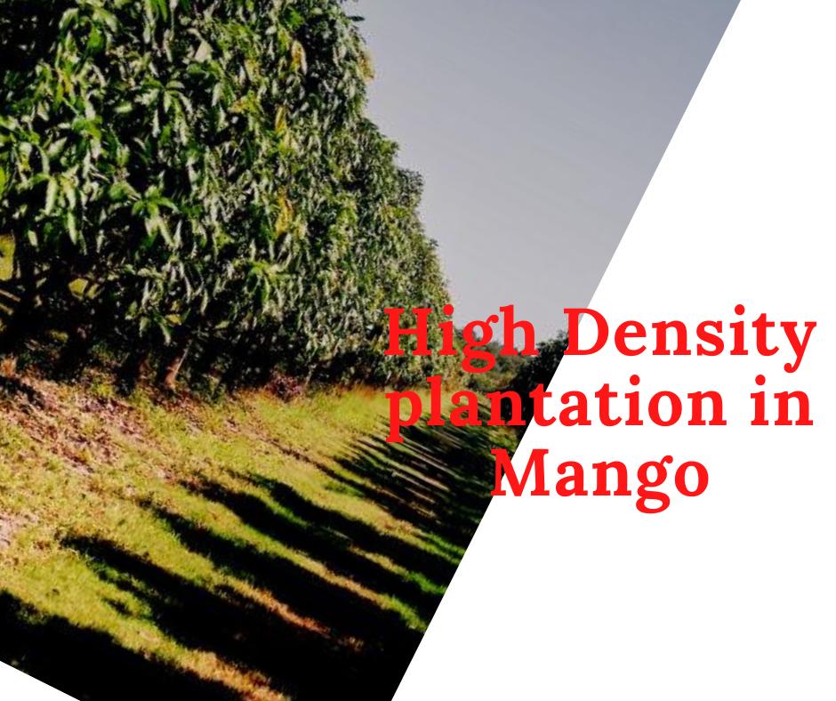 high density mango farming