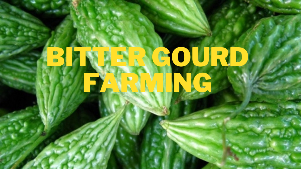 Bitter gourd farming, bitter gourd sowing time