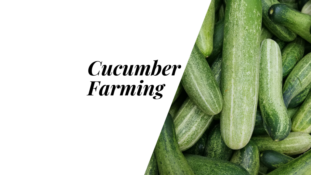 commercial cucumber production