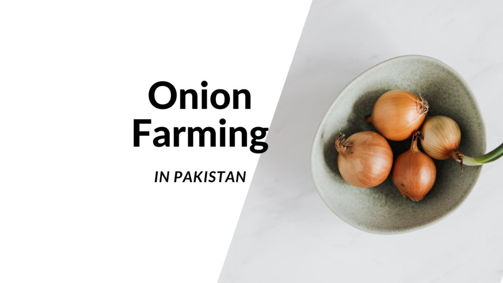 onion farming technique