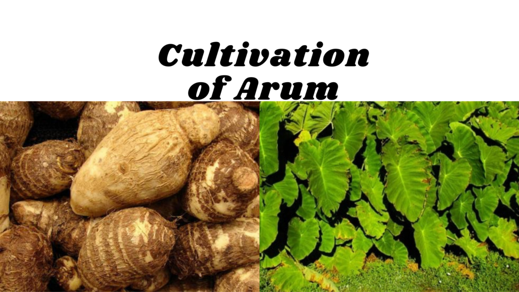 cultivation of colocasia