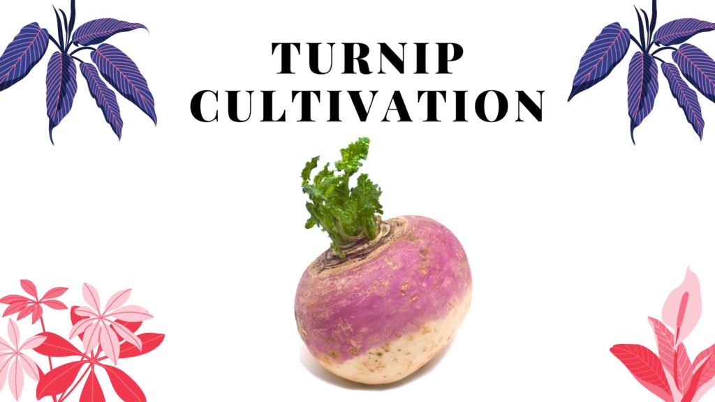 turnip (Shaljam)